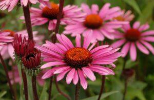 Bademcik İltihabı Bağışıklık Sistemini Güçlendirici Balgam Söktürücü Şifalı Bitkiler