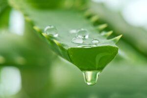 Ülser-Varis-Yanık-Yara İyileştirici Şifalı Bitkiler