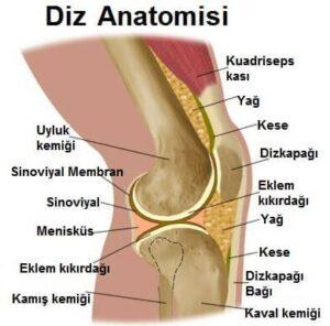 diz-anatomisi1