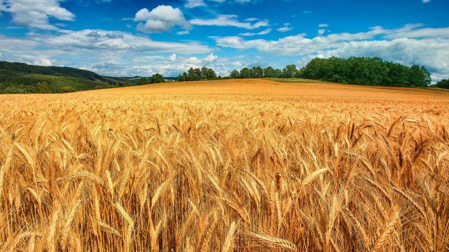 Ekmek Tüketmenin Zararları-Buğday tarlası