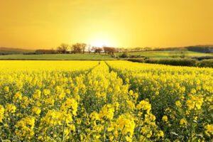 Doğal Yağlar ve Buğdayın Değişimi