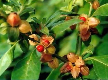 ashwagandha-bitkisi