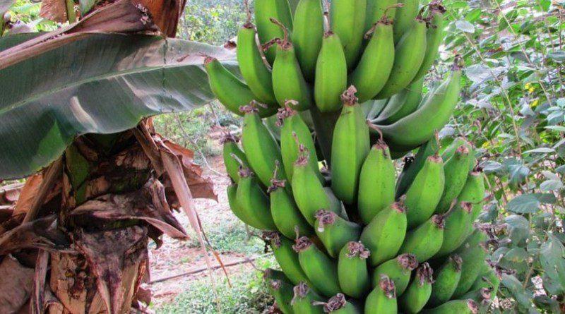 Muz Yetiştirme Koşulları-Muz Ağacı