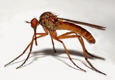 anofel-sivrisineklerinin-disileri