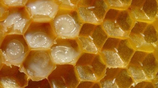 Arı SütüNedir