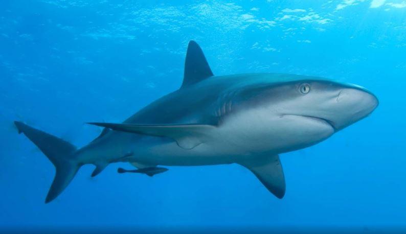 Kanser olmayan köpek balığı