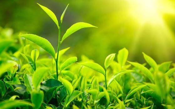 Balgam Söktürücü Çay Ağacı