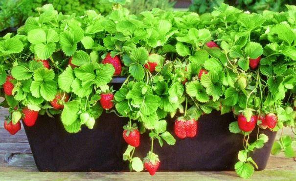 Saksıda Sebze Yetiştirme