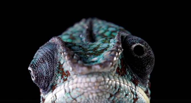Bukalemunlar Neden ve Nasıl Renk Değiştirir?