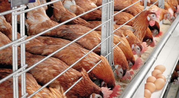Tavukçuluk Sektöründe Rendering