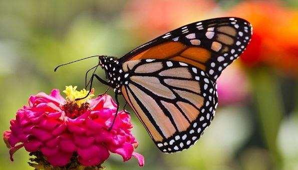 Kelebeklerin Gelişim Süreçleri