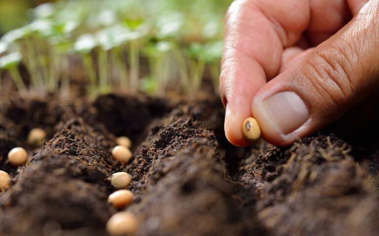 Üreticilik Yapan Çiftçinin Tohum Gözlemi