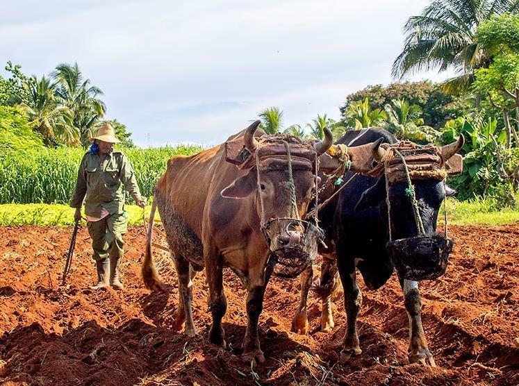 Milletlerin Dünden Bugüne Tohum Üretimi-Küba