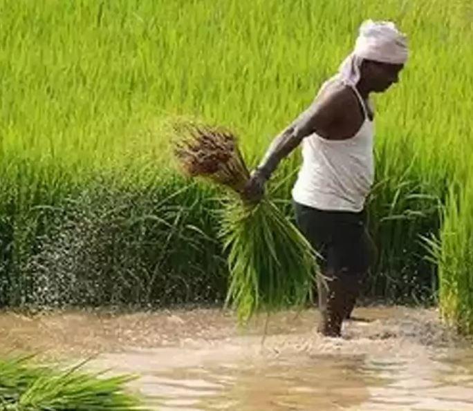 Pirinç Üretimi Zorluğu-Çeltik Tarlası