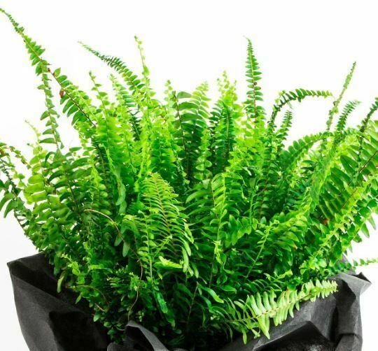 Hava Temizleyen Ev Bitkileri-Aşk Merdiveni