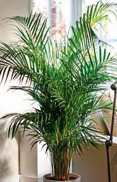 Hava Temizleyen Ev Bitkileri-Bambu Palmiyesi