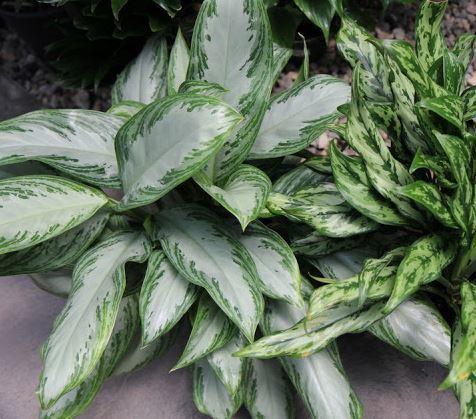 Hava Temizleyen Ev Bitkileri-Çİn Herdem Yeşili