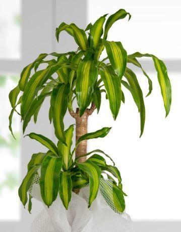 Draçena Bitkisi