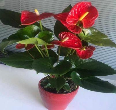 Hava Temizleyen Ev Bitkileri-Flamingo Çiçeği