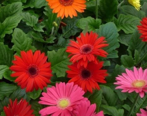 Jerbera Çiçeği