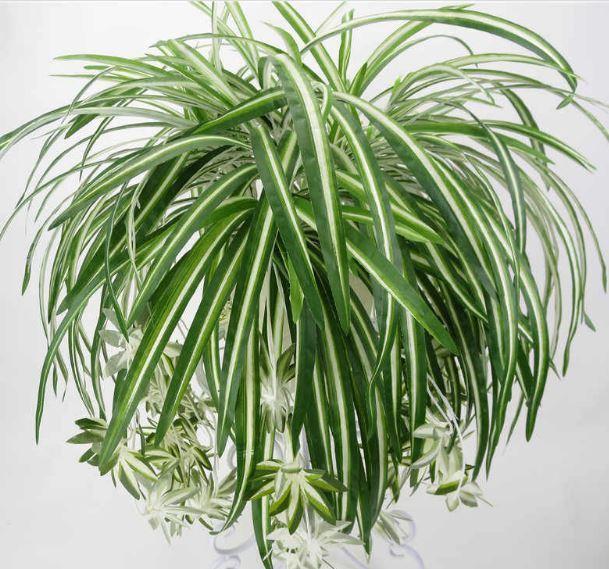 Hava Temizleyen Ev Bitkileri-Kurdele Çiçeği