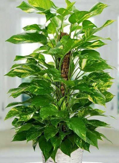 Hava Temizleyen Ev Bitkileri-Salon Sarmaşığı