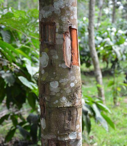 Kuru Ağaç Kabuğu Tarçının Faydaları