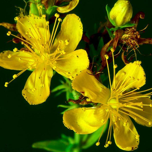 Sarı Kantaron Faydaları ve Kullanım Şekilleri Nelerdir?