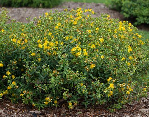 Sarı Kantaron Kullanımı